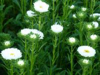 Callistephus chinensis   'Mats White' China Aster plant