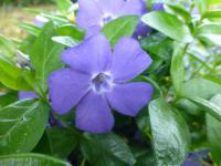 Vinca minor    'Bowles'  Lesser Periwinkle flowers