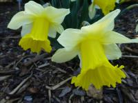 Narcissus  'Unsurpassable'  Daffodil plant