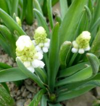 Muscari aucheri 'White Magic'  Grape Hyacinth plant