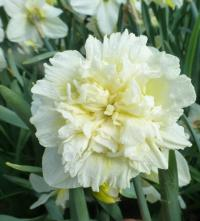 Daffodil Narcissus  'Ice King'