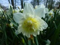 Narcissus          'Ice King'  Daffodil flowers