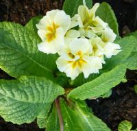 Primula x polyantha  'You and Me Cream'  Polyanthus Primrose plant