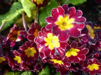 Primula x polyantha   'You and Me Maroon Laced'  Polyanthus Primrose flowers