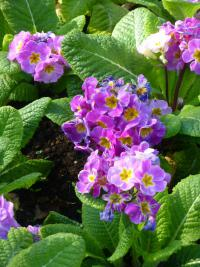 Prvosenka 'You and Me Light Lilac' (Primula x polyantha)