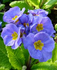 Primula x polyantha 'You and Me Denim'  Polyanthus Primrose flowers