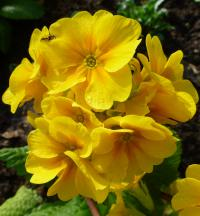 Primula x polyantha     'You and Me Golden'  Polyanthus Primrose flowers