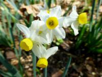 Narcissus      'Canaliculatus'  Daffodil flowers
