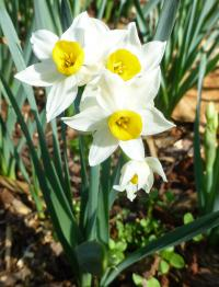 Narcissus     'Canaliculatus'  Daffodil plant