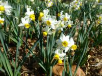Narcissus  'Canaliculatus' - Daffodil