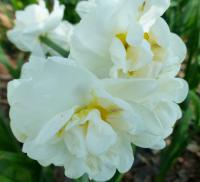 Narcissus       'Bridal Crown'  Daffodil flowers