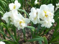 Narcissus  'Bridal Crown'  Daffodil plant
