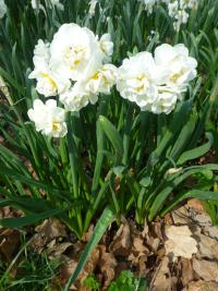 Daffodil Narcissus  'Bridal Crown'