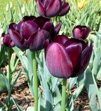 Tulipa      'Queen of Night'  tulip plant