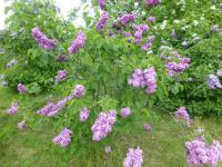 Syringa vulgaris  'Anne Tighe' - Common Lilac