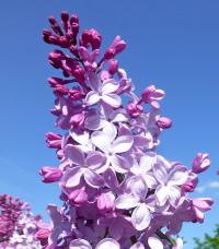 Syringa x hyacinthiflora     'Esther Staley'  Hyacinth Flowering Lilac flowers
