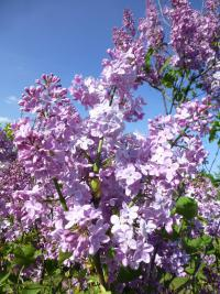 Syringa x hyacinthiflora  'Pink Cloud''  Hyacinth Flowering Lilac flowers