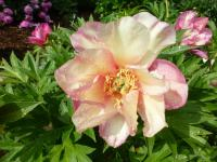 (Paeonia intersectional hybrid) Pivoňka 'Julia Rose'