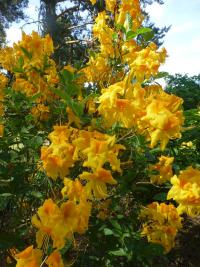 Rhododendron 'Goldpracht'  Rhododendron plant