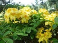 Rhododendron Rhododendron  'Golden Sunset'