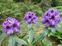 Rhododendron Rhododendron  'Blue Jungs'