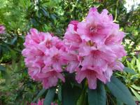 Rhododendron   'Doria'  Rhododendron flowers
