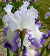 Iris barbata    'Sighs And Whispers'  Bearded Iris flowers