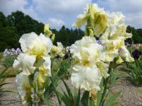 Iris barbata 'Lemon Fire'  Bearded Iris flowers