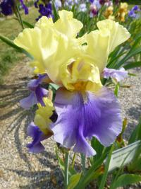 Iris barbata    'Edith Wolford'  Bearded Iris flowers