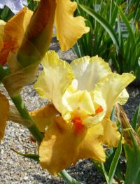 Iris barbata   'Spiced Custard'  Bearded Iris flowers