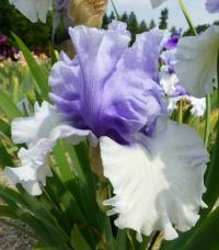 Iris barbata    'Wintry Sky'  Bearded Iris flowers