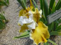 Bearded Iris Iris barbata  'Going Green'