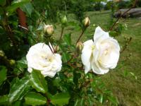 Rosa      'Ave Maria'  Rose flowers