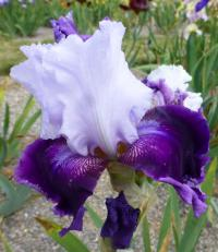 Iris barbata    'Gay Parasol'  Bearded Iris flowers