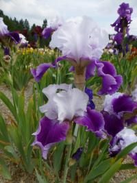 Iris barbata 'Gay Parasol'  Bearded Iris plant