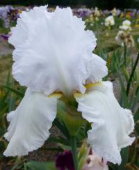 Iris barbata    'Lacy Snowflake'  Bearded Iris flowers