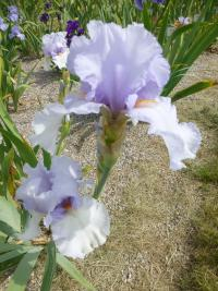 Iris barbata  'All American' - Bearded Iris