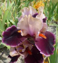 Iris barbata   'Pass The Wine'  Bearded Iris flowers