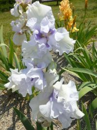 Iris barbata 'Little Much'  Bearded Iris flowers