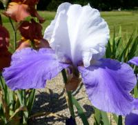 Iris barbata    'Miss Indiana'  Bearded Iris flowers