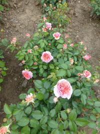 Rosa 'Chippendale'  Rose plant