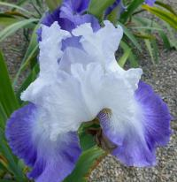 Iris barbata    'Alizés'  Bearded Iris flowers