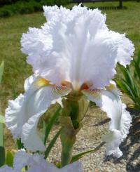 Iris barbata     'Šľahačka'  Bearded Iris flowers