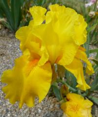 Iris barbata    'Tut's Gold'  Bearded Iris flowers