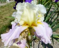 Iris barbata     'Dream Touch'  Bearded Iris flowers