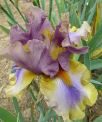 Iris barbata    'Karibik'  Bearded Iris flowers