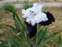 Iris barbata 'Domino Noir'  Bearded Iris plant