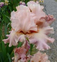 Iris barbata    'Venus in Pink'  Bearded Iris flowers