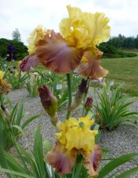 Iris barbata 'High Chaparral'  Bearded Iris plant