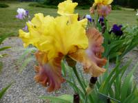 Iris barbata  'High Chaparral'  Bearded Iris flowers